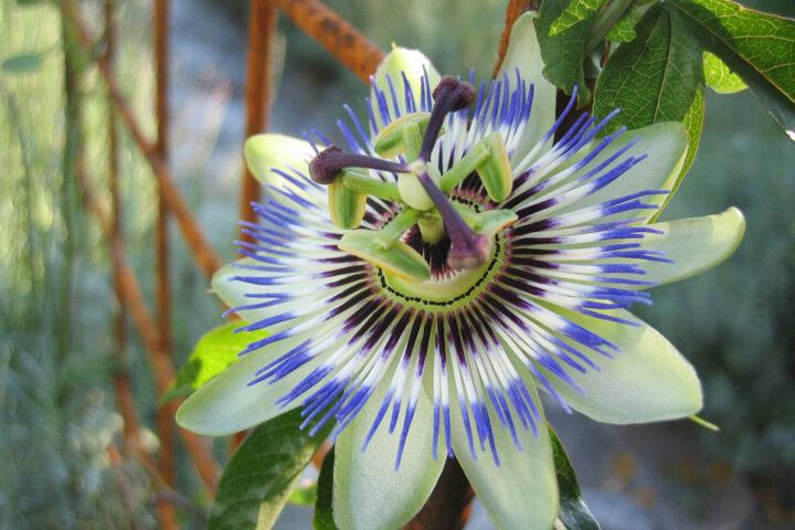 ca003-cartagena-passion-flower_pixabay