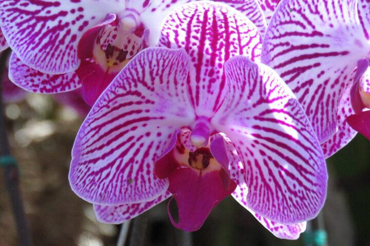 ca014-cartagena-purple_orchid_pixabay
